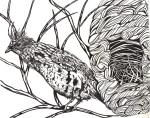 "Hen, 8 x 10"" ink on paper"
